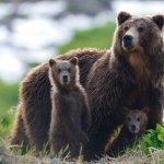 1-Kamchatka-bears-_400